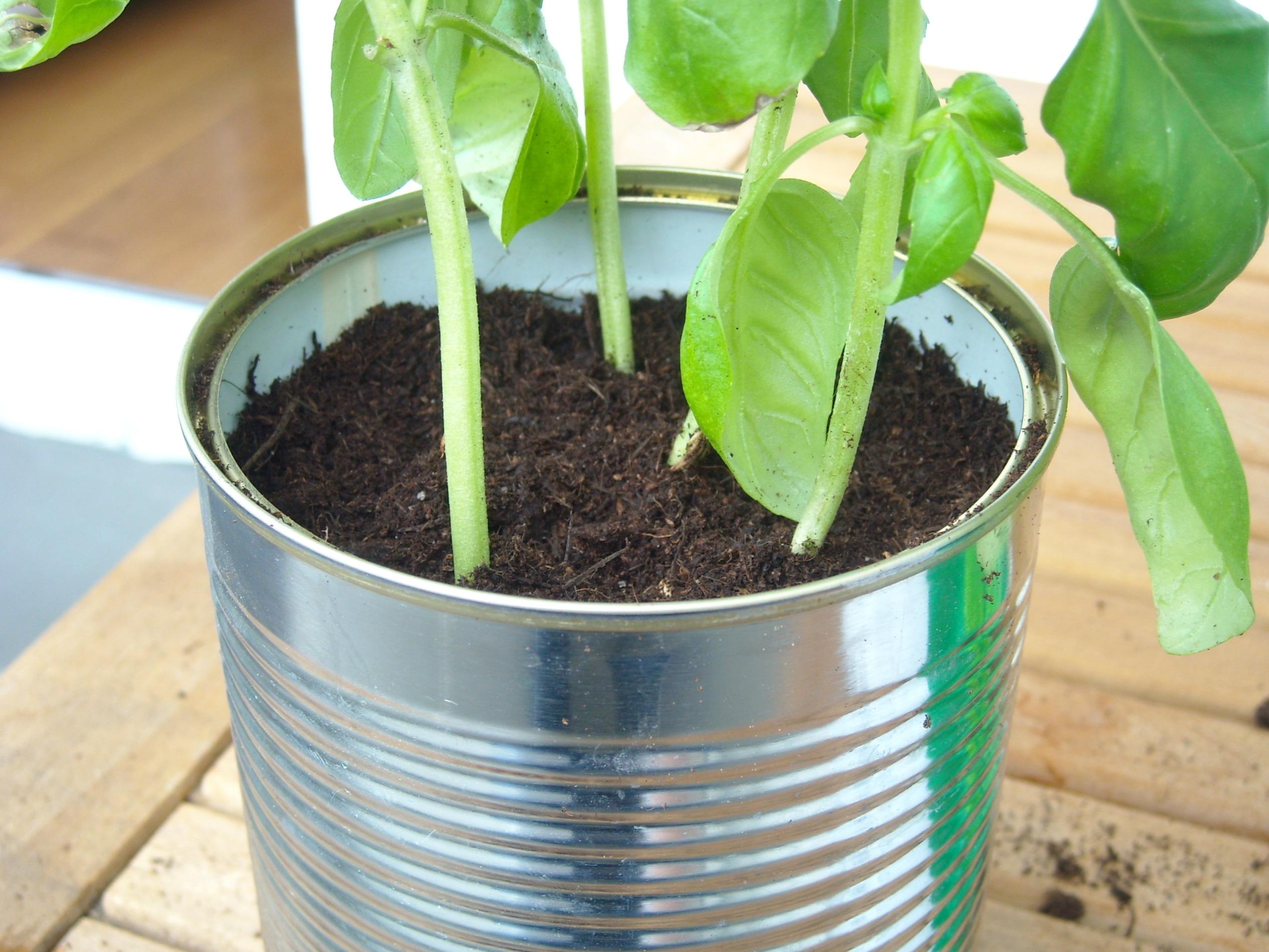Wie man Basilikum in eine Konservendose pflanzt ...