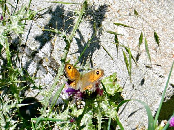 Bassai Schmetterling