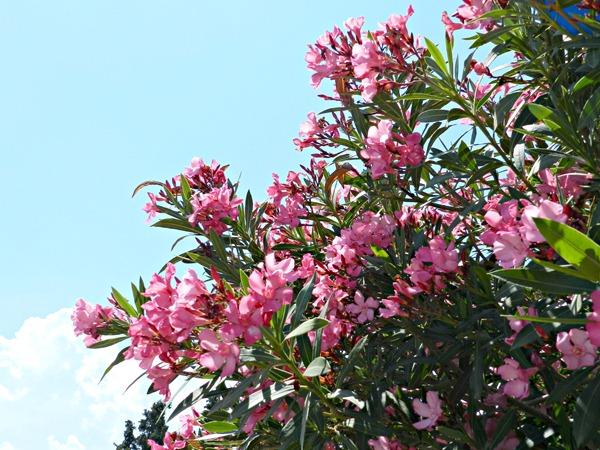 Oleander in Korinth